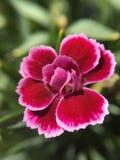 Fermez-vous sur un oeillet rose Image libre de droits