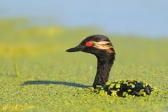 Fermez-vous très vers le haut de la vue sur un grèbe étranglé noir dans le plumage d'élevage Photographie stock libre de droits