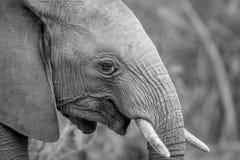 Fermez-vous vers le haut d'un éléphant africain photos stock