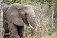Fermez-vous vers le haut d'un éléphant africain photographie stock libre de droits