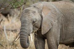 Fermez-vous vers le haut d'un éléphant africain image libre de droits
