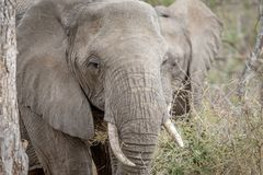 Fermez-vous vers le haut d'un éléphant africain photographie stock