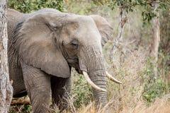 Fermez-vous vers le haut d'un éléphant africain photos libres de droits