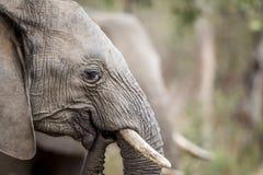 Fermez-vous vers le haut d'un éléphant africain photo libre de droits
