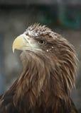 Fermez-vous vers le haut d'un aigle brun sur le backround gris Images libres de droits