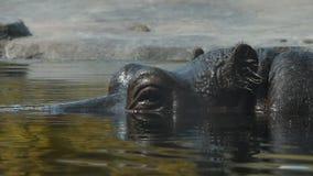 Fermez-vous vers le haut d'un bain d'hippopotame dans l'eau banque de vidéos