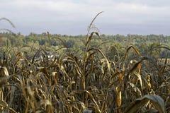 Fin de champ de maïs vers le haut Image libre de droits