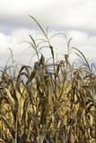Fin de champ de maïs vers le haut avec des nuages Image libre de droits