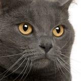 Fermez-vous vers le haut d'un Chartreux (3 années) Photos libres de droits