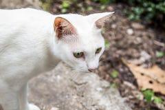 Fermez-vous vers le haut d'un chat blanc thaïlandais photo libre de droits