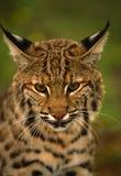 Fermez-vous vers le haut d'un chat sauvage Photographie stock libre de droits