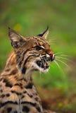 Fermez-vous vers le haut d'un chat sauvage grondant Image stock