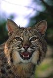 Fermez-vous vers le haut d'un chat sauvage grondant Image libre de droits