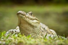 Fermez-vous vers le haut d'un crocodile à la jungle en Equateur Photos stock