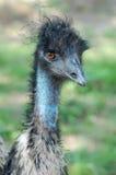 Fermez-vous vers le haut d'un emu photo libre de droits
