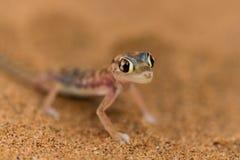 Fermez-vous vers le haut d'un gecko de désert photographie stock