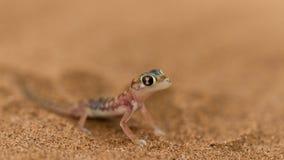 Fermez-vous vers le haut d'un gecko de désert photos stock