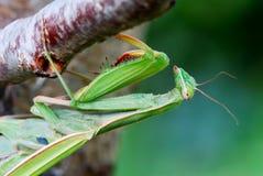 Fermez-vous vers le haut d'un grand mantis Photos libres de droits