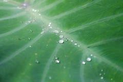 Fermez-vous vers le haut d'un groupe de gouttelettes sur la grande feuille tropicale verte de caladium images stock