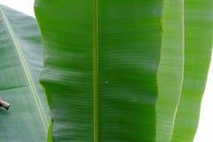 Fermez-vous vers le haut d'un groupe de la feuille de banane sur blanc d'isolement photographie stock libre de droits