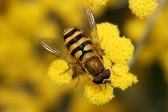 Fermez-vous vers le haut d'un Hoverfly sur une fleur jaune Photos stock