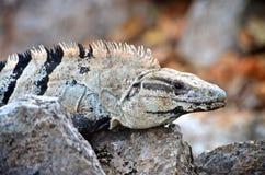 Fermez-vous vers le haut d'un iguane au Mexique Photos libres de droits