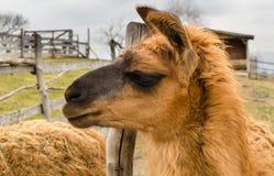 Fermez-vous vers le haut d'un lama Photo libre de droits