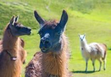 Fermez-vous vers le haut d'un lama Photos stock