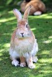 Fermez-vous vers le haut d'un lapin Images stock