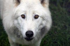 Fermez-vous vers le haut d'un loup artic Photo stock