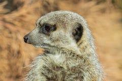 Fermez-vous vers le haut d'un Meerkat image libre de droits