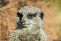 Fermez-vous vers le haut d'un Meerkat photos libres de droits