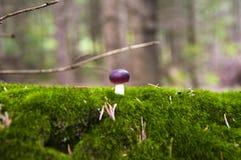 Fermez-vous vers le haut d'un petit champignon de couche de russule sur la mousse c Images libres de droits