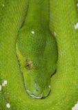 Fermez-vous vers le haut d'un python vert d'arbre Image stock