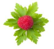 Fermez-vous vers le haut d'un rapsberry mûr Images stock