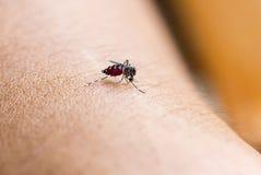 Fermez-vous vers le haut d'un sang humain de succion de moustique Photo stock