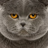 Fermez-vous vers le haut d'un shorthair britannique (2 années) photo libre de droits
