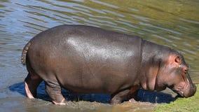 Fermez-vous vers le haut d'un sortir de marche d'hippopotame de l'eau clips vidéos