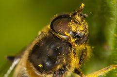 Fermez-vous vers le haut d'une abeille Photos stock