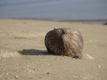 Fermez-vous vers le haut d'une configuration brune de noix de coco Photographie stock
