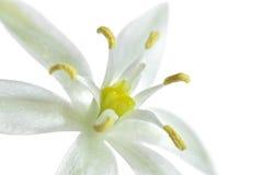 Fermez-vous vers le haut d'une fleur blanche Photo libre de droits
