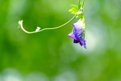 Fermez-vous vers le haut d'une fleur de fleur de pois de papillon avec des gouttelettes photos libres de droits