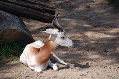 Fermez-vous vers le haut d'une gazelle d'addra Photo libre de droits