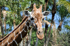Fermez-vous vers le haut d'une giraffe réticulée Images stock