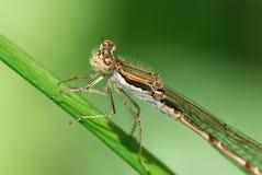 Fermez-vous vers le haut d'une grande libellule photo libre de droits