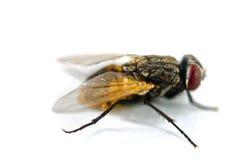 Fermez-vous vers le haut d'une mouche Photographie stock