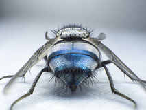 Fermez-vous vers le haut d'une mouche, macro, grande mouche, insecte de monstre, vue arrière Photographie stock