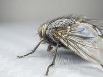 Fermez-vous vers le haut d'une mouche, macro, grande mouche, insecte de monstre, vue de côté Photos stock