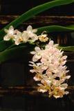 Fermez-vous vers le haut d'une orchidée de Rhynchostylis de pêche Photo libre de droits