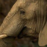 Fermez-vous vers le haut d'une tête d'éléphants d'isolement Photographie stock libre de droits